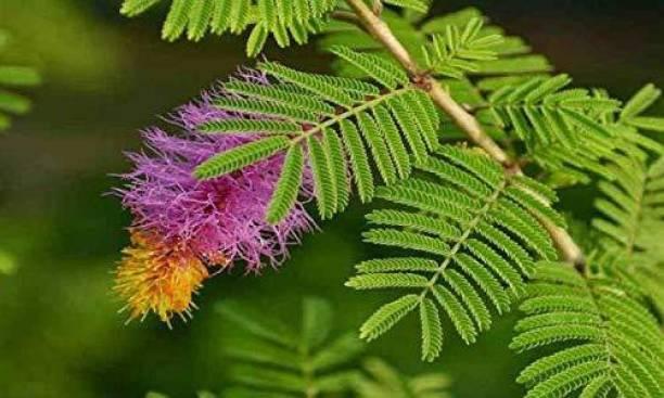 greengrow Shami/Jand Plant