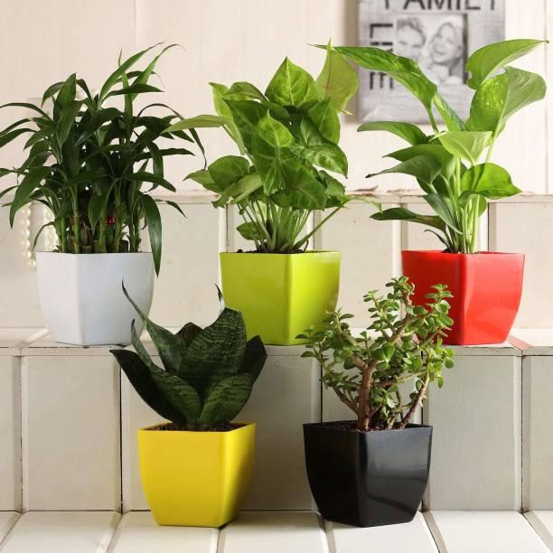 Vibrant Green Money Plant