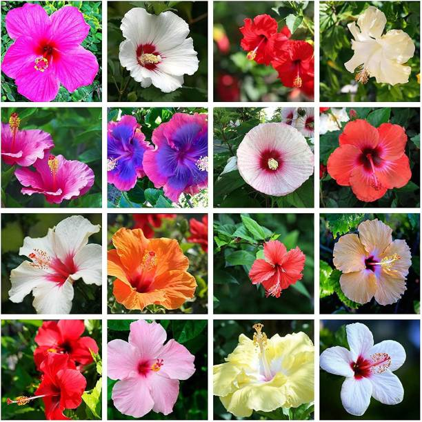 BEE Garden mixed Hibiscus Rose Mallows Ornamental Flower seeds For Growing 30 Seeds Pack Seed