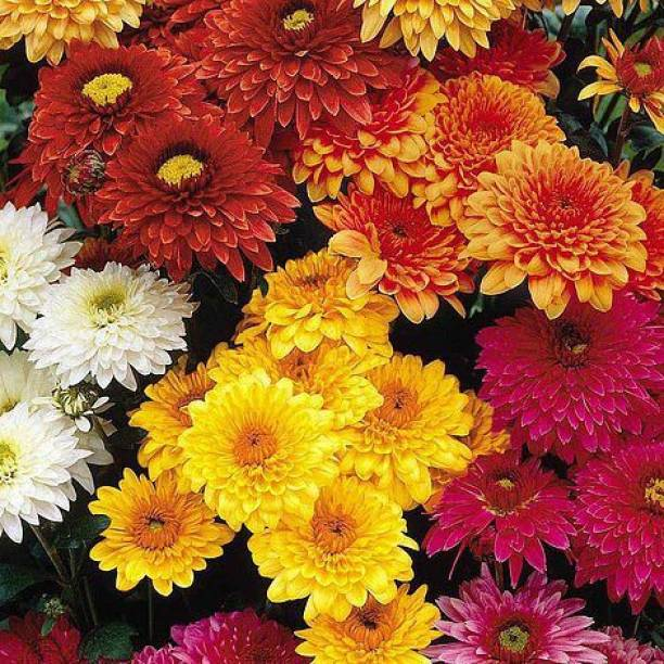 Farm seeds Chrysanthemum flower organic seeds (beej) best for home and gardening purpose, Chrysanths, Mums, Guldaudi, Premium Seeds Seed