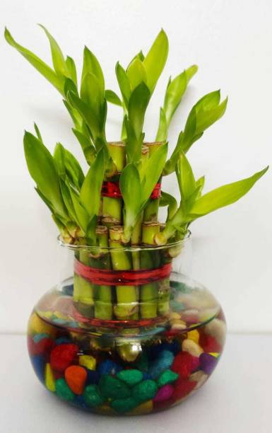 GREEN-HOMES Two Layer Bamboo Plant