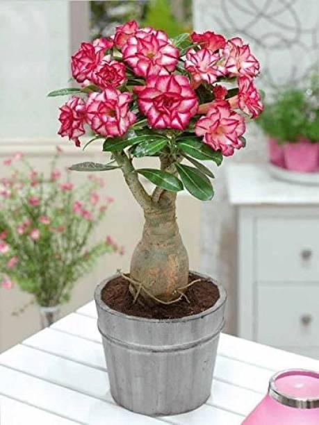 EdensField Adenium Plant