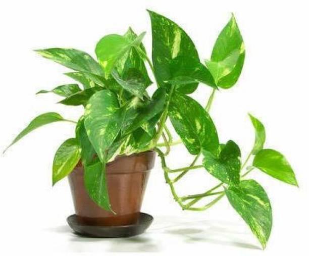 YATO Money Plant