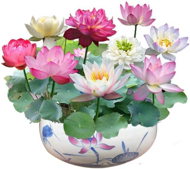 BEE Garden Rainbow Lotus Flower Seeds 30pcs Organic Water Lilies Lotus Bowl Aquatic Plants Flower Easy to Grow Seeds for Bonsai Planting Pond Indoor Outdoor Decor And Also Cocopeat FREE Seed