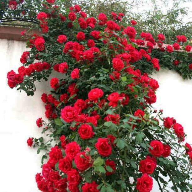 Puspita Nursery Rose Plant