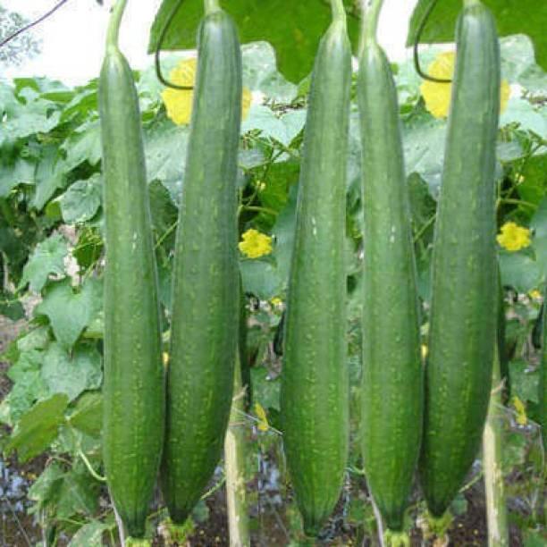 JSR Organics Tori, Sponge Gourd, NENUA Seed