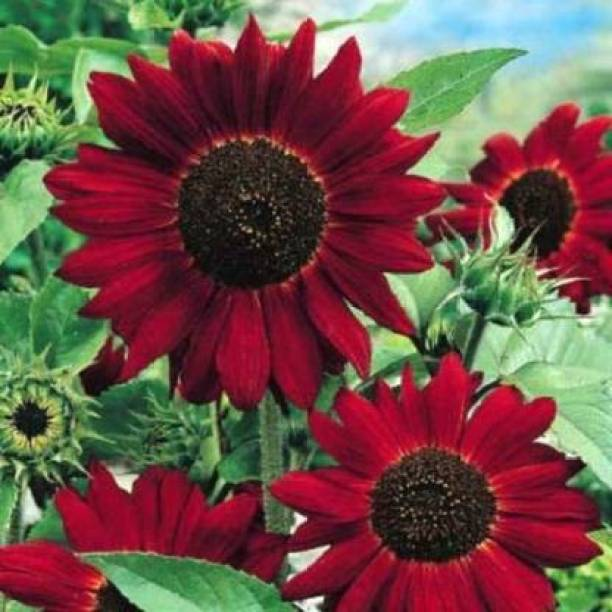 Crapulous RED GIANT SUNFLOWER - RED SUN Seed Seed