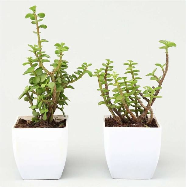 AGAMI Jade Plant
