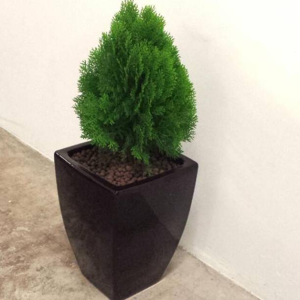 ISIT BUY Platycladus/Morpankhi Plant