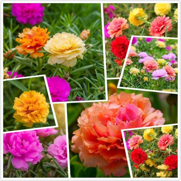 Crapulous Moss Rose (Portulaca Grandiflora) Mixed Colors 20+ Fresh Seeds Perennial Multicolored Wild Flower Seed