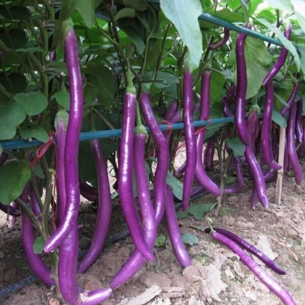 ishika Long Brinjal Seeds for Home Garden Seed