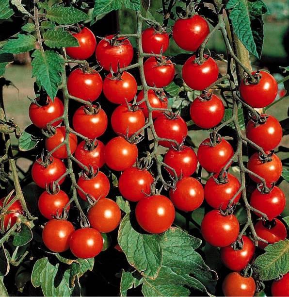 Menpulam Tomato Seed