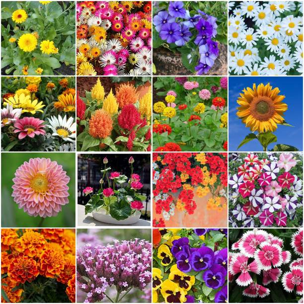 BEE Garden Plant Seeds For Home Garden Flowers Combo of 12 Packet of Seeds Winter, Summer & Spring & All Season Garden Flower Seed And also cocopeat free (petunia,marigold,ice plant,pansy,phlox,lotus,gazania,verbena,dahlia,dianthus,daisy And calendula Lupin sunflower nemesia zinnia seeds Seed