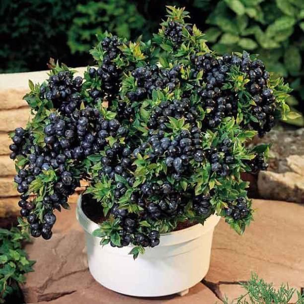 Vamsha Nature Care Jamun Plant