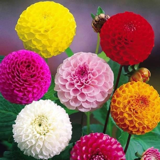ZONATO Flower seeds Zinnia Flower Mix Best Quality Premium Hybrid pack of 50 Seed