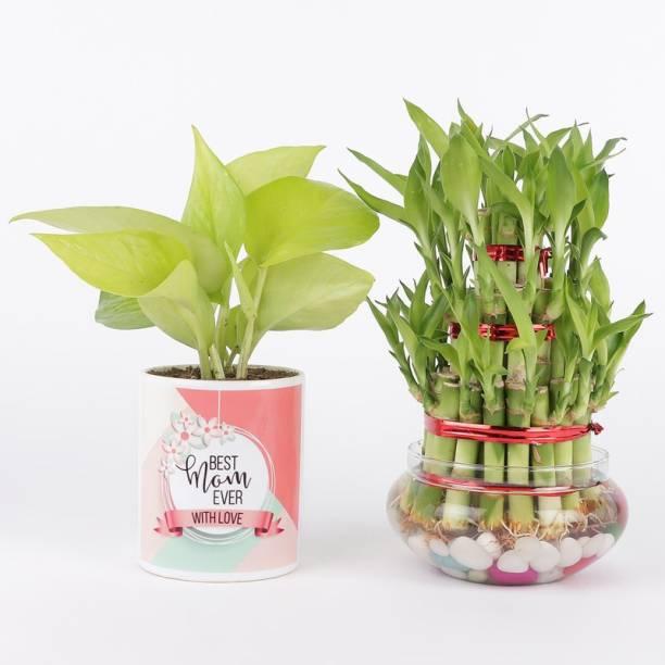 Ferns N Petals Three Layer Bamboo Plant