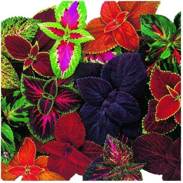 Paudha Coleus Rainbow Mix Seed