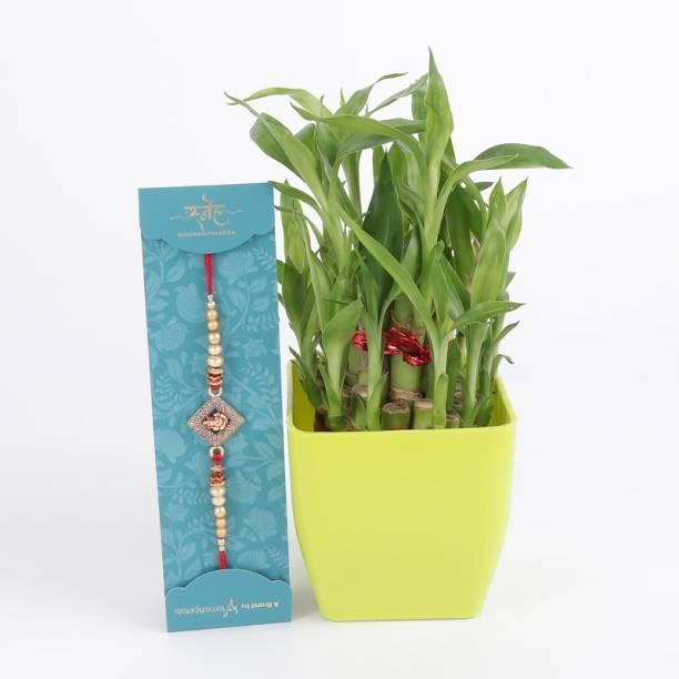 Ferns N Petals Live Plant, Rakhi  Set