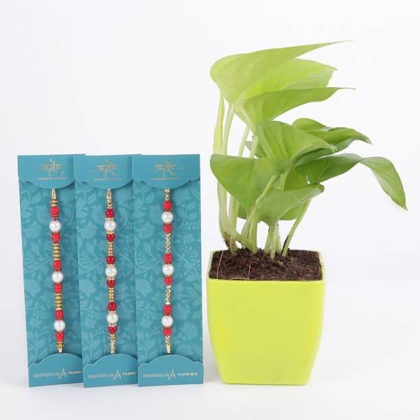 Ferns N Petals Rakhi, Live Plant  Set