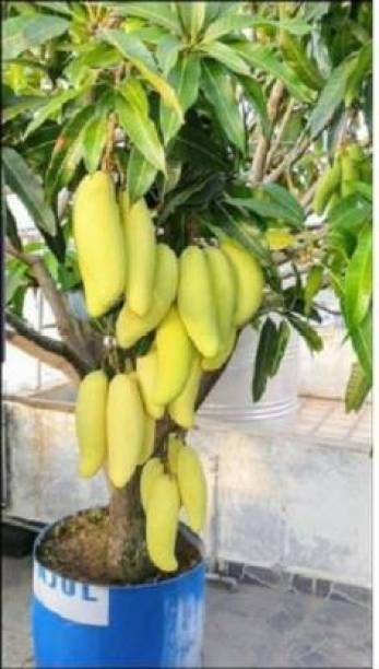 NDS Mango Plant
