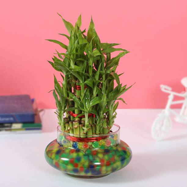 Flipkart SmartBuy Real Bamboo Plant with Pot Artificial Plant  with Pot