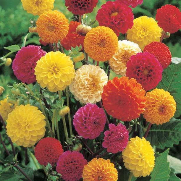 Airex Dahlia Mixed Seed