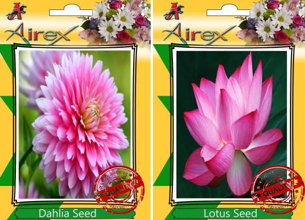 Airex Dahlia Lotus Seed