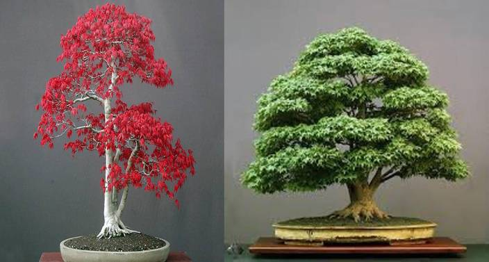 e352ef1f3e417d NSKON Imported Japanese Bonsai Green Maple Tree + Red Maple tree Seed (20  per packet)