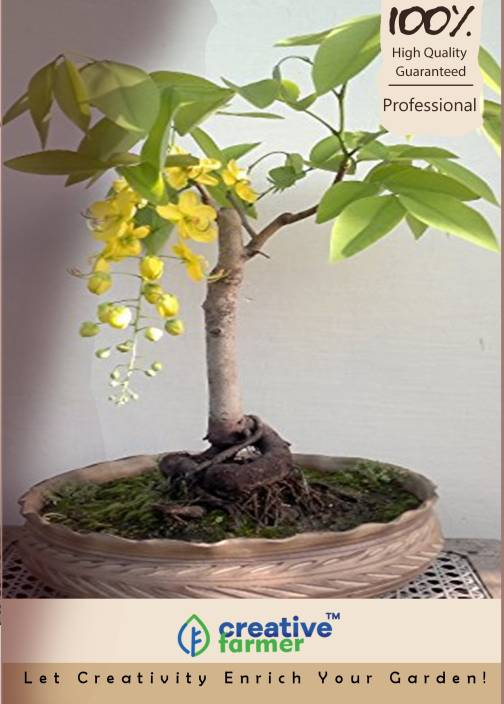 Rain Tree Bonsai For Sale Bonsai Tree