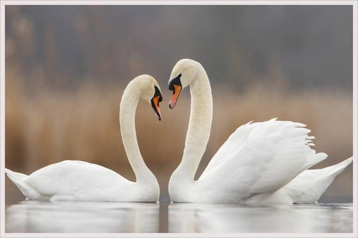 Swan Couple Fine Art Print Art Paintings Posters In