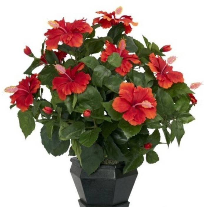 Priyathams Imported Bonsai Hibiscus Mandara Plant Pottedbalcony