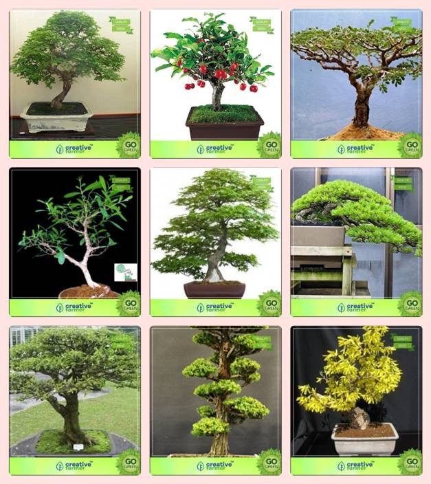 Creative Farmer Bonsai Seeds Tree And Indoor Plant Combo Divi Divi