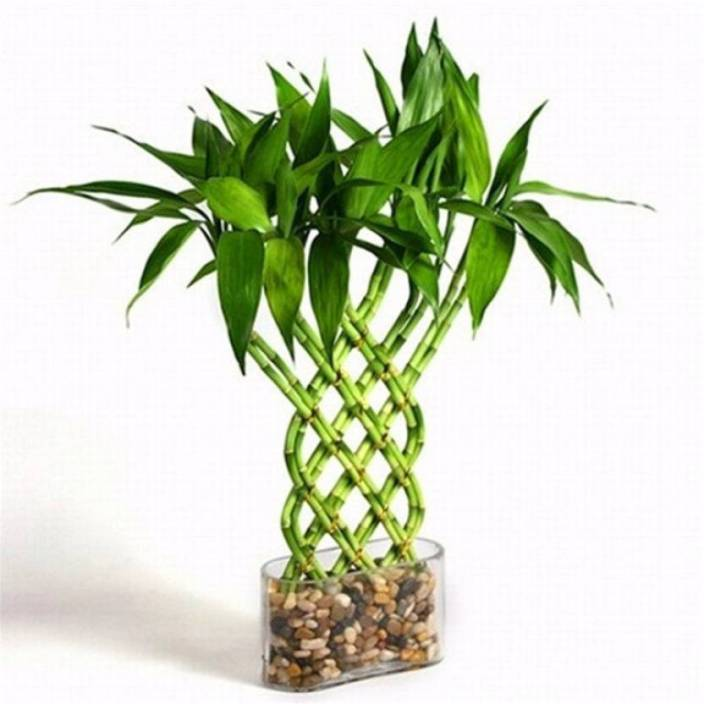 Priyathams Imported Stone Lucky Bamboo Plant Seed 10 Per Packet