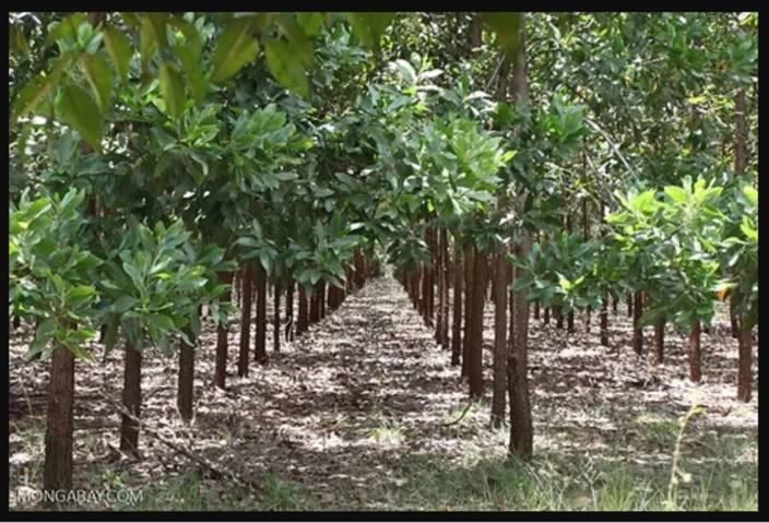 Generic Acacia Mangium Black Wattle Brown Salwood Hickory Wattle