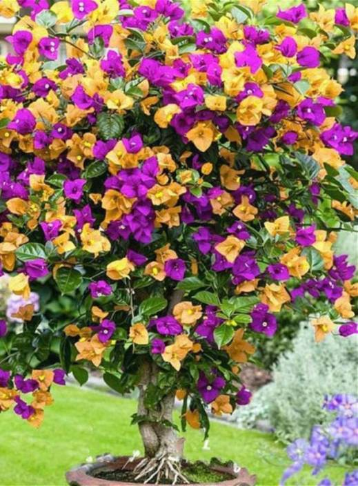 Priyathams Imported Paper Flower Colorful Bougainvillea Plant Seed