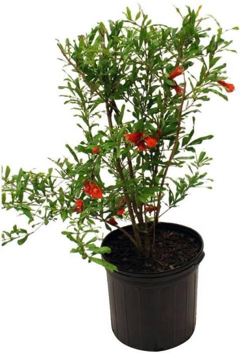 Vamsha Nature Care Hybrid Variety Dwarf Pomegranate Fruit Plant - 1 Live Plant 1.5 Feet Height Plant