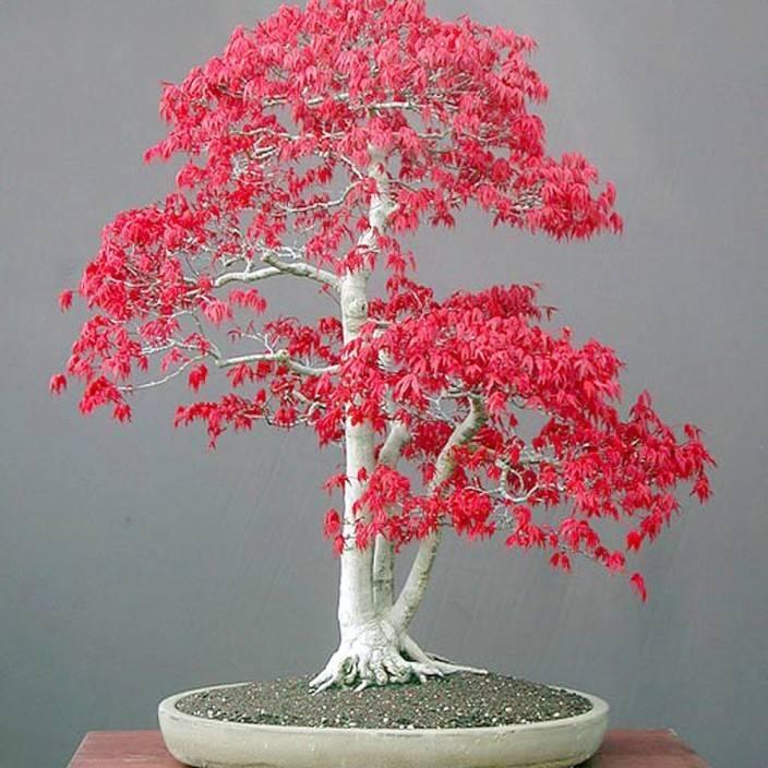 ELIF Red Maple Bonsai Tree Seed