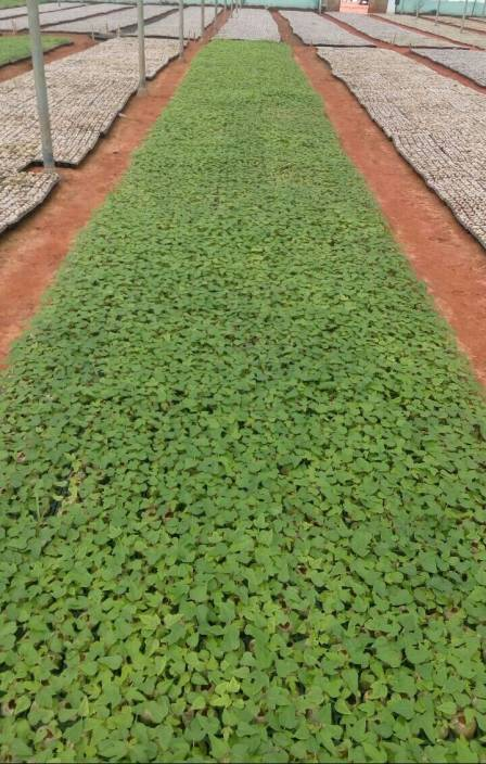 Green World Red Lady Papaya 786 Seeds Seed Price In India Buy