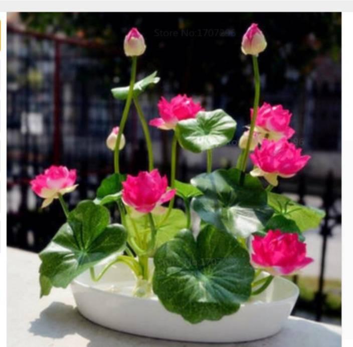 Priyathams Red Lotus Plant Seed Price In India Buy Priyathams Red