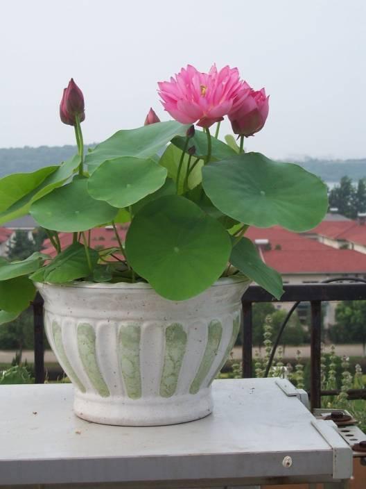 Airex Lotus Flower Seeds Seed Price In India Buy Airex Lotus