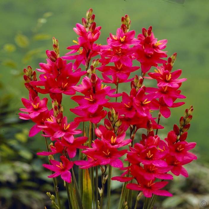 LIVE GREEN Ixia Imported Flower Bulb, 100% GERMINETION (Pack