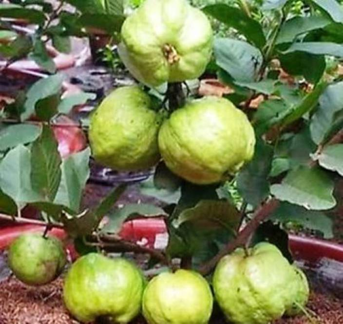Vamsha Nature Care Live Seedless Honey Guava Plant