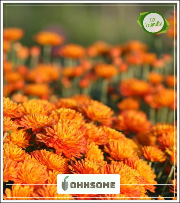 Ohhsome Gul E Ashrafi Hybrid Seeds For Kitchen Garden With