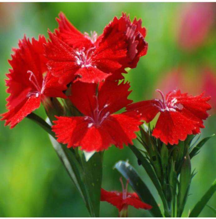 38f5f3a4a9ae OhhSome Flower Seeds   Dianthus-F2 Dwarf Mix Flower Seeds Growing Garden  Seeds For House