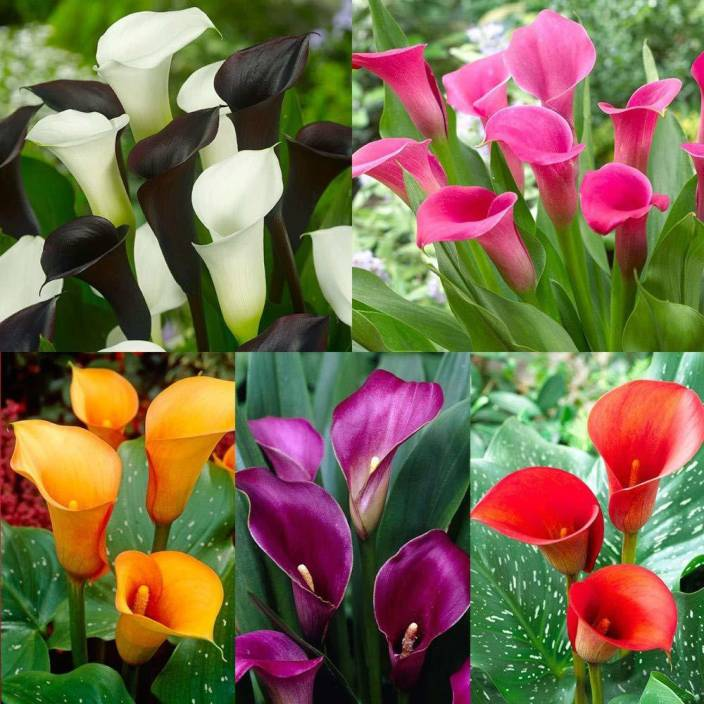 Live Green Zantedeschia Calla Lily Imported Flower Bulbs 100 Germinetion Pack Of 10 Seed Per Packet