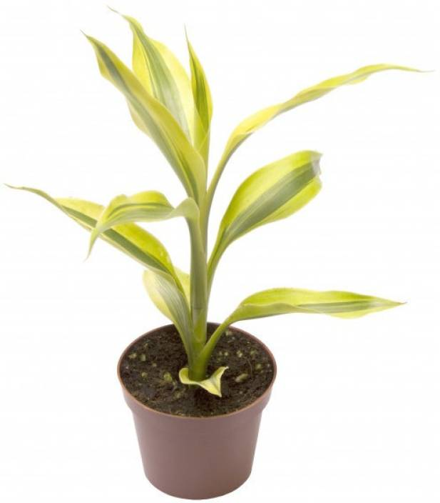 Vamsha Nature Care Live Lucky Bamboo (Sanderiana Gold) Plant with