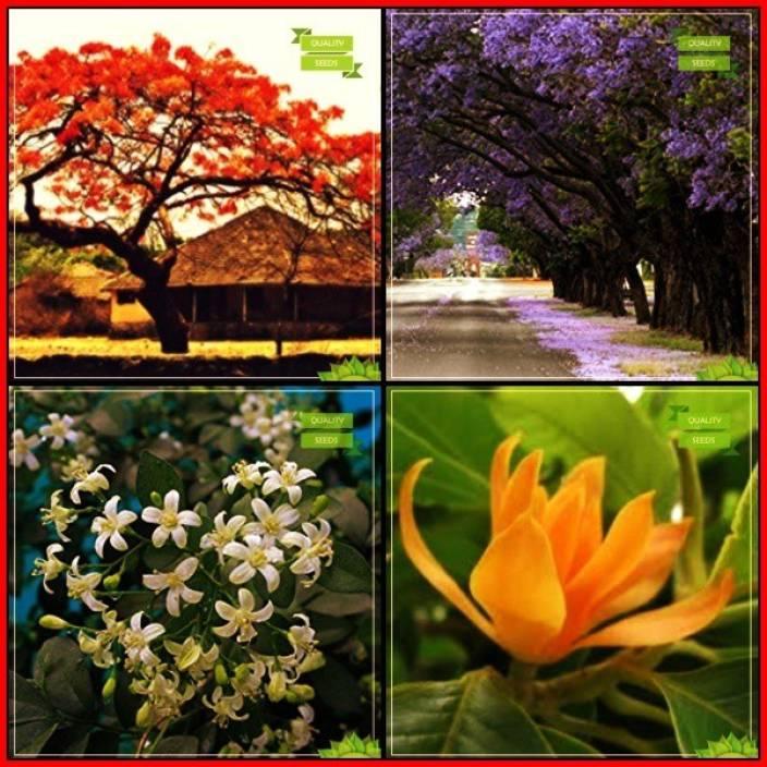 Ohhsome All Purpose Combo Tree Seeds Jacaranda Gulmohar Orange