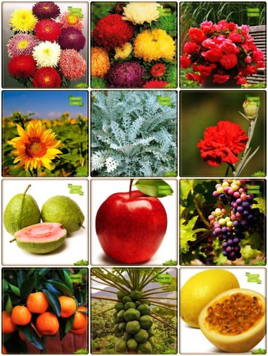 OhhSome Best Seeds Combo Flower Seeds & Fruit : Guava, Apple