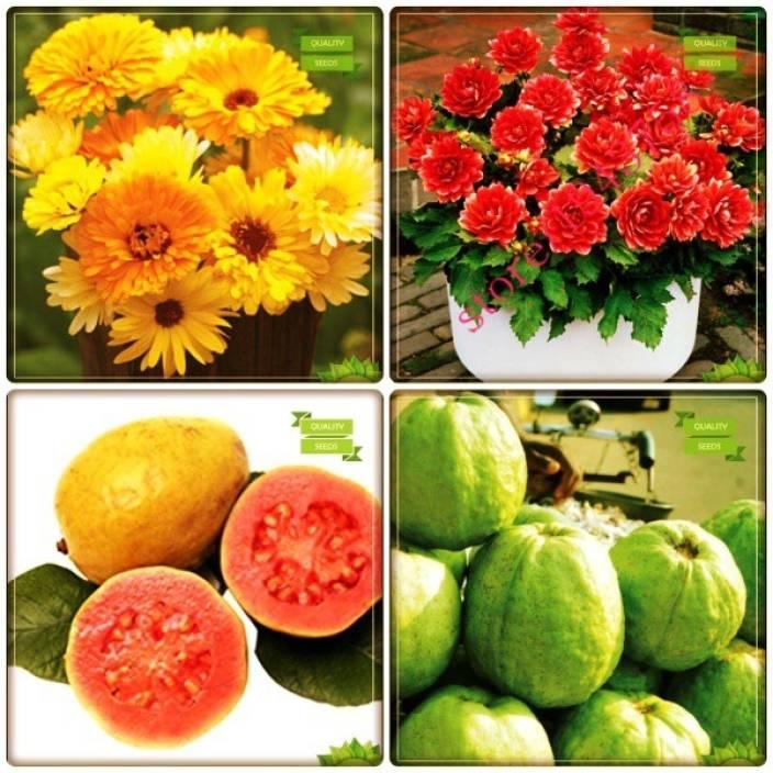 OhhSome Garden Seeds Combo Tree Seeds : Psidium Guava