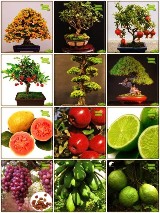 OhhSome Summer Seeds Combo Tree Seeds & Bonsai Suitable